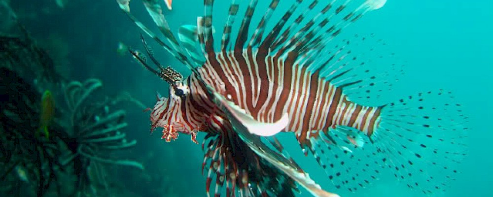 THE LIONFISH - DAZZLING AND DANGEROUS